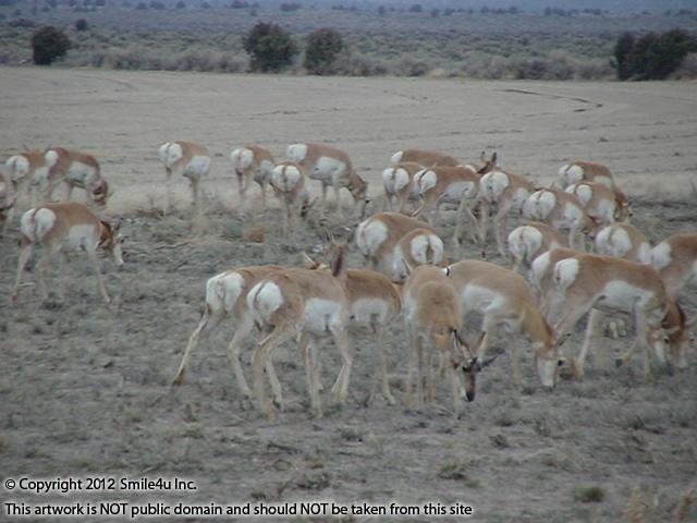 I saw several big herds of antelope and deer as I drove NE out of Christmas Valley on one of Oregon Outback Scenic Byways not too far from this land for sale! Fabulous!