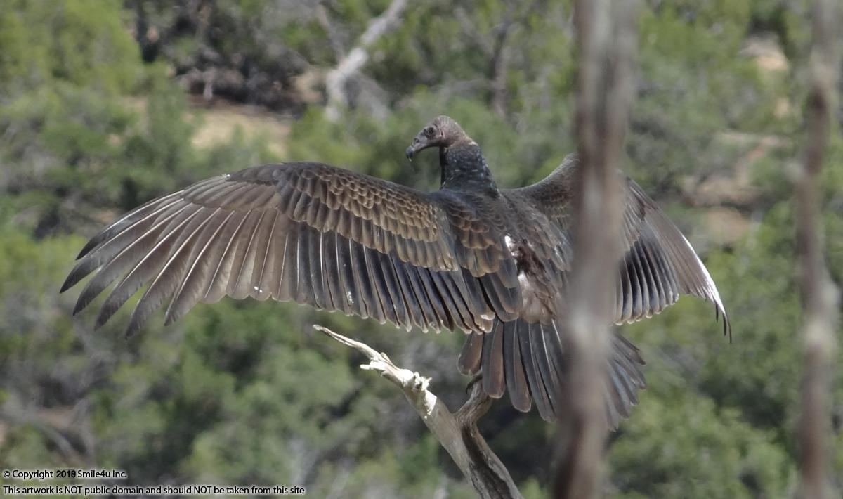 506760_watermarked_955874_watermarked_vulture.jpg